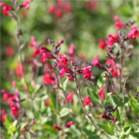 salvia_microphylla_newby_hall