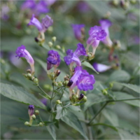 strobilanthes_pentastemonoides